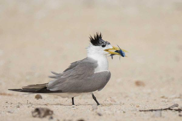 Eilseeschwalbe (Thalasseus bergii) - Greater crested tern - 11