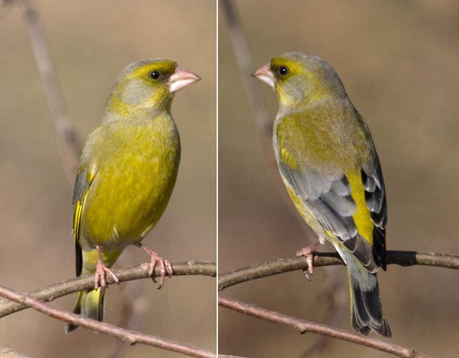 Grünfink (Carduelis chloris) - European greenfinch - 8