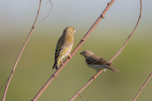 Karmingimpel (Carpodacus erythrinus) - Common rosefinch - 1