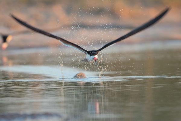 Schwarzmantel-Scherenschnabel (Rynchops niger) - 14