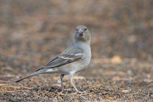 Teydefink (Fringilla teydea) - Blue Chaffinch - 2