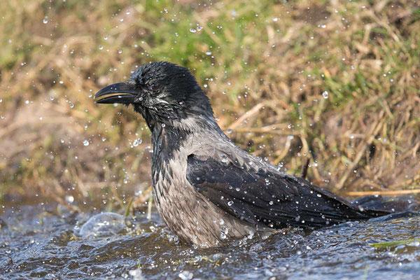 Nebelkrähe (Corvus corone) - 1