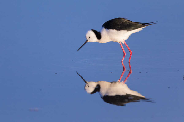 Weißgesicht-Stelzenläufer, white-headed stilt, Himantopus leucocephalus - 1