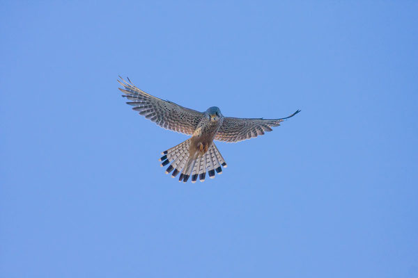 Männlicher Turmfalke (Falco tinnunculus) - 1