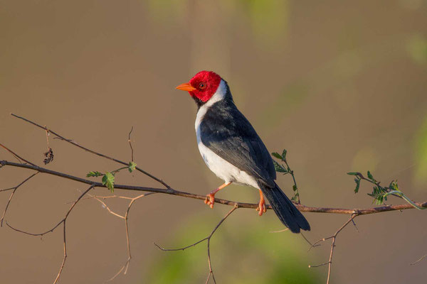Mantelkardinal (Paroaria capitata) - Yellow-billed Cardinal - 2