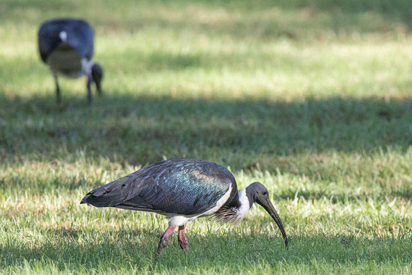 Stachelibis (Threskiornis spinicollis) - Straw-necked ibis - 1