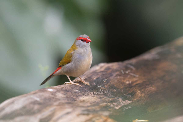 Dornastrild, Red-browed finch, Neochmia temporalis - 1
