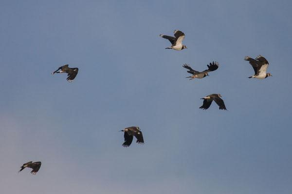 Kiebitz (Vanellus vanellus) - 5