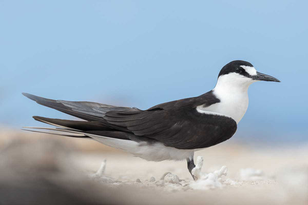 Rußseeschwalbe (Onychoprion fuscatus) - Sooty tern - 13