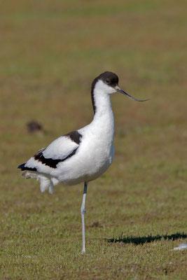 Säbelschnäbler (Recurvirostra avosetta) - 12