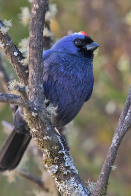 Diademtangare (Stephanophorus diadematus) - Diademed Tanager - 5