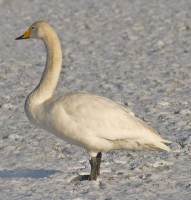 Singschwan  Cygnus cygnus, Whooper Swan - 14