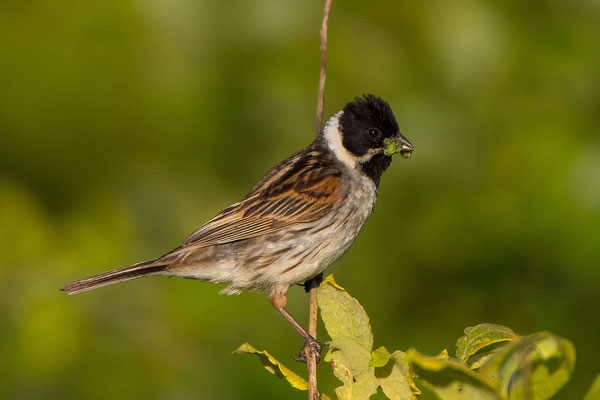 Rohrammer (Emberiza schoeniclus) - Reed Bunting - 1