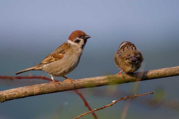 Feldsperling (Passer montanus) - Tree Sparrow - 4