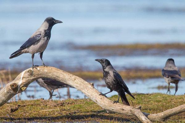 Nebelkrähe (Corvus corone) - 9