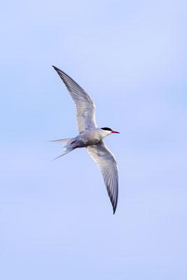 Fluss-Seeschwalbe (Sterna hirundo) - 12