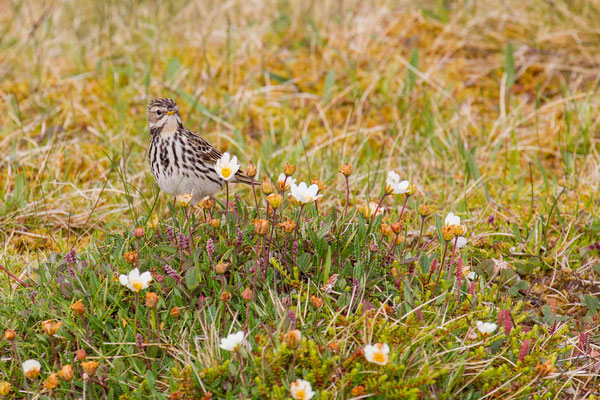Rotkehlpieper (Anthus cervinus) - Red-throated Pipit - 2