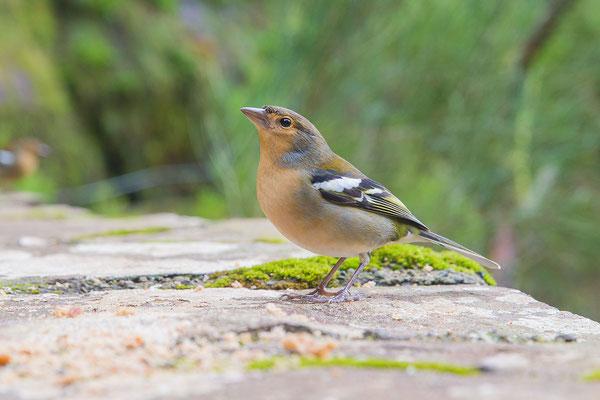 Männlicher Madeira-Buchfink (Fringilla coelebs maderensis) - Madeiran chaffinch - 5