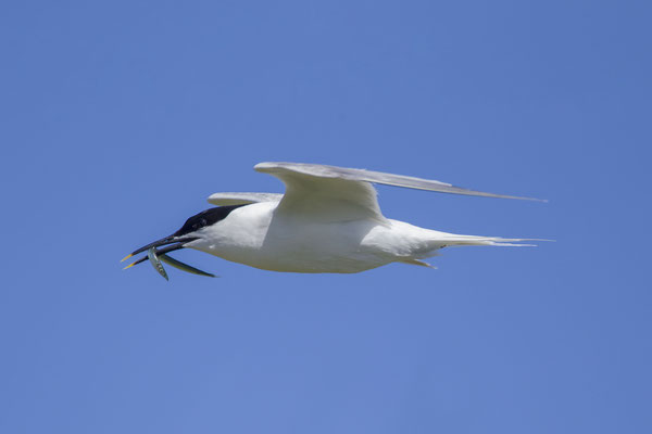 Brandseeschwalbe (Thalasseus sandvicensis) - Sandwich Tern - 7