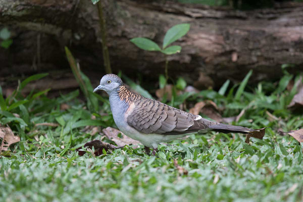Kupfernackentaube (Geopelia humeralis) - Bar-shouldered dove - 1