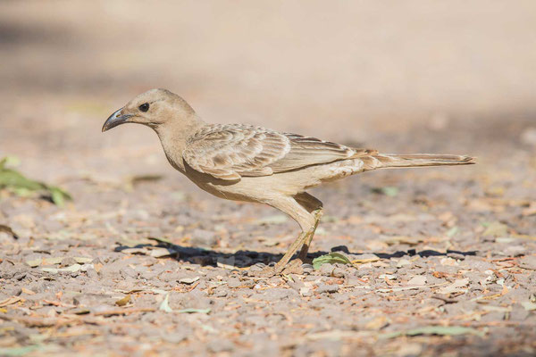 Graulaubenvogel ( Chlamydera nuchalis) - 2