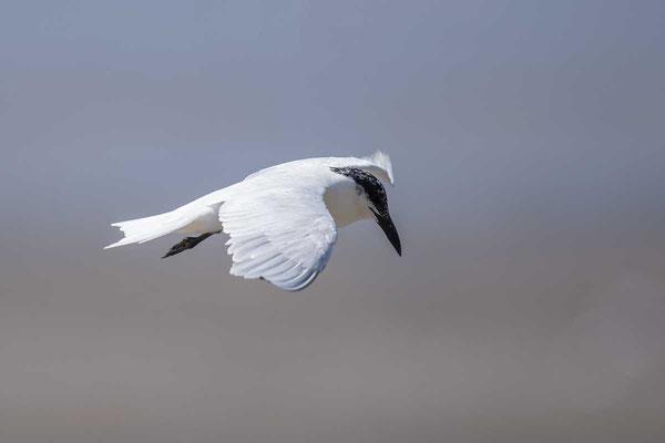 Australische Lachseeschwalbe (Gelochelidon macrotarsa)  - Australian Gull-billed Tern - 2