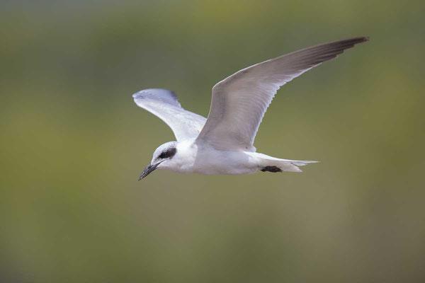 Lachseeschwalbe (Gelochelidon nilotica) - Gull-billed tern - 2
