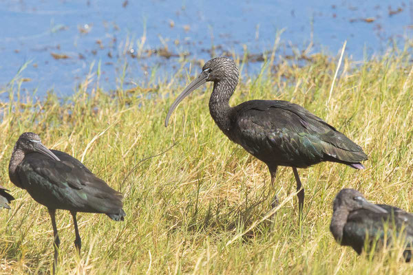 Brauner Sichler (Plegadis falcinellus) - Glossy ibis - 2
