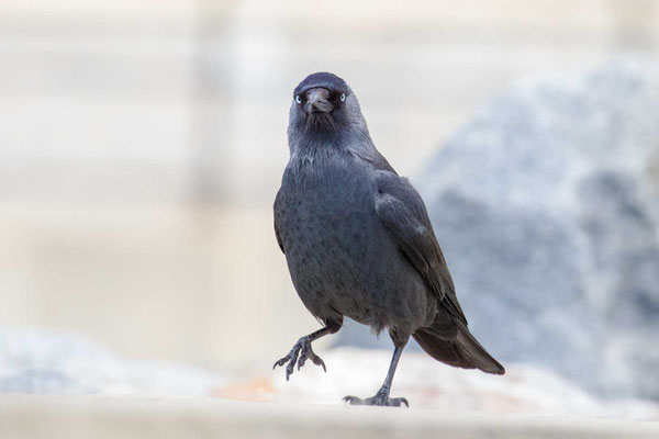 Dohle (Corvus monedula) - 5