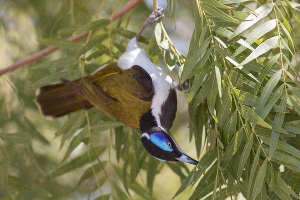 Blauohr-Honigfresser, Blue-faced Honeyeater, Entomyzon cyanotis - 4