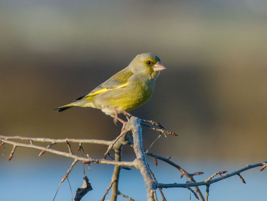 Grünfink (Carduelis chloris) - European greenfinch - 7