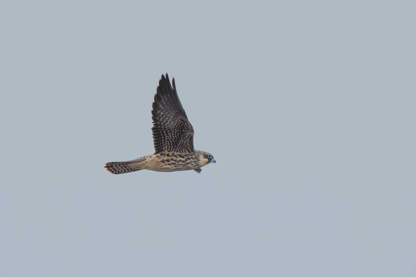 Eleonorenfalke (Falco eleonorae) - Eleonora's falcon - 11