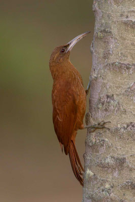 Fuchsroter Baumsteiger (Xiphocolaptes major) - Great Rufous Woodcreeper - 2