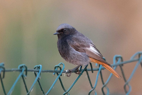 Hausrotschwanz (Phoenicurus ochruros) - Black Redstart - 6