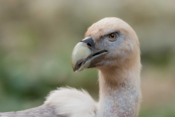 Gänsegeier (Gyps fulvus) - Griffon Vulture - 7
