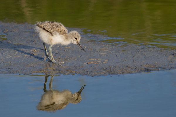 Säbelschnäbler (Recurvirostra avosetta) - 6