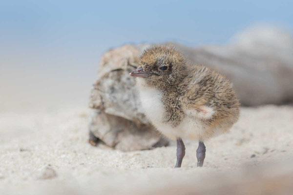 Rußseeschwalbe (Onychoprion fuscatus) - Sooty tern - 8