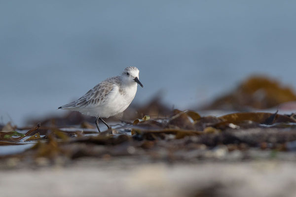 Sanderling (Calidris alba) - 6