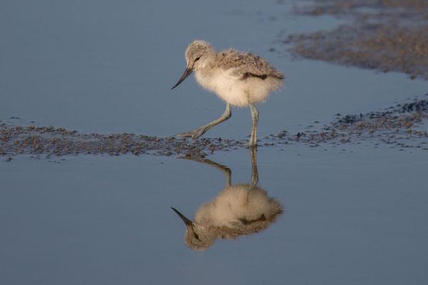 Säbelschnäbler (Recurvirostra avosetta) - 5