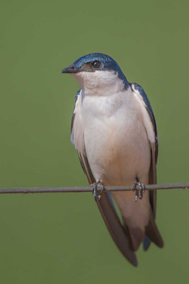 Cayenneschwalbe, Tachycineta albiventer, White-winged Swallow - 4