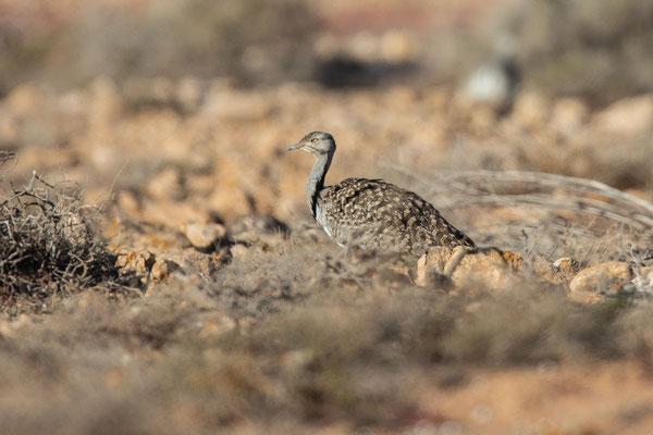 Männliche Kragentrappe (Chlamydotis undulata) auf der Insel Fuerteventura