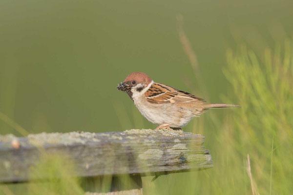 Feldsperling (Passer montanus) - Tree Sparrow - 7