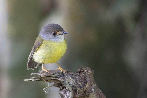 Fahlgesichtschnäpper, pale-yellow robin, Tregellasia capito - 2