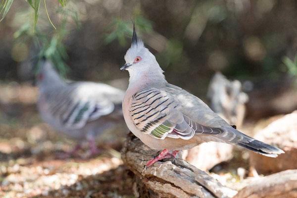Spitzschopftaube (Ocyphaps lophotes) - Crested pigeon - 3