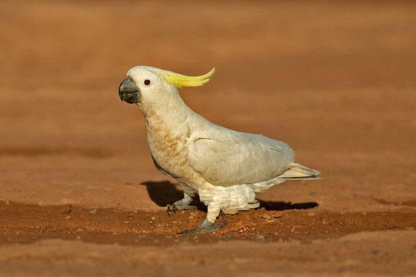 Gelbhaubenkakadu, Sulphur-crested cockatoo, Cacatua galerita - 2