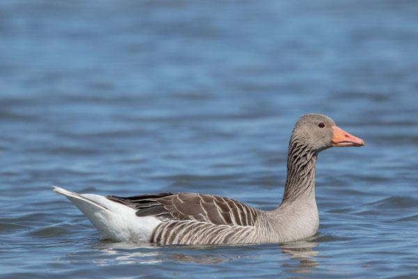Graugans, Anser anser, Greylag goose - 8