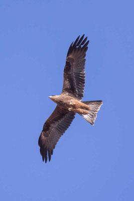 Schwarzmilan,  Black kite, Milvus migrans - 7