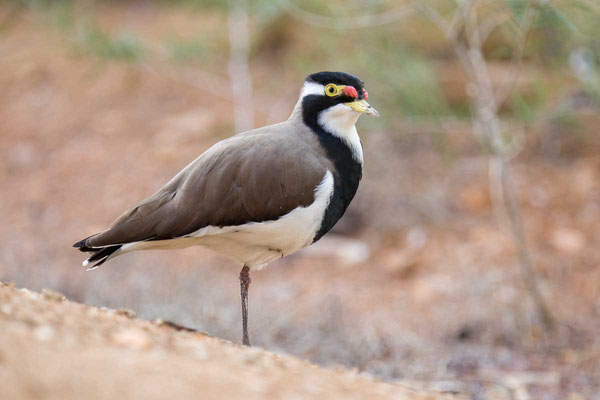 Schwarzbandkiebitz (Vanellus tricolor) - Banded Lapwing - 1