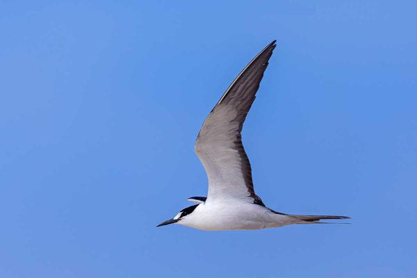 Rußseeschwalbe (Onychoprion fuscatus) - Sooty tern - 5