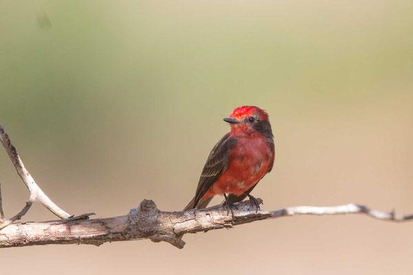 Rubintyrann (Pyrocephalus rubinus); Vermilion Flycatcher - 1